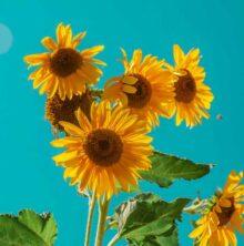 The last of summer's fresh sunflowers